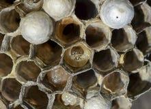 在蜂窝大黄蜂的巢的幼虫 库存照片