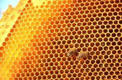 在蜂窝框架的两只蜂 免版税库存照片