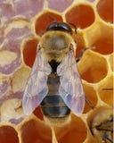 在蜂窝的年轻蜂蜜蜂寄生虫 库存图片