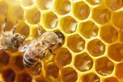 在蜂窝的美丽的蜂与蜂蜜特写镜头 库存照片