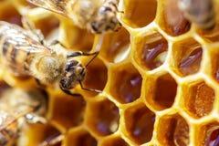 在蜂窝的美丽的蜂与蜂蜜特写镜头 免版税库存照片