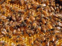 在蜂窝的蜂蜜蜂 图库摄影