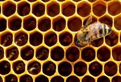 在蜂窝细胞的工作的蜂 养蜂业的概念 免版税库存照片