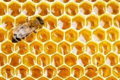 在蜂窝细胞的工作的蜂 免版税库存照片