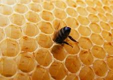 在蜂窝细胞里面的蜂 免版税图库摄影
