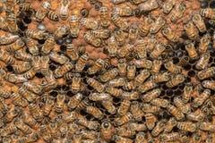 在蜂箱宏指令关闭里面的蜂 免版税库存照片