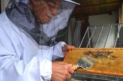 在蜂蜜收获期间的养蜂家分开的蜂窝 免版税库存照片