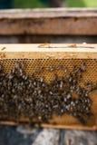 在蜂蜜的细节在蜂窝 养蜂业的概念 库存照片