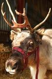 在蜂蜜酒开放农场的驯鹿 图库摄影