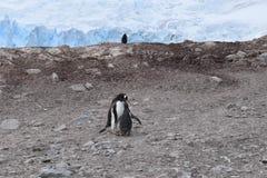 在蜕变的季节期间,南极洲,Penguin妈妈喂养她的小鸡 免版税库存图片