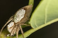 在蜘蛛叶子极端关闭-宏观照片的蜘蛛在叶子的 图库摄影
