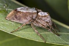 在蜘蛛叶子极端关闭-宏观照片的蜘蛛在叶子的 库存图片