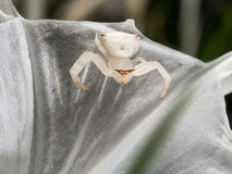 在蜘蛛百合的醉蝶花属 免版税库存图片