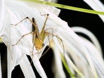 在蜘蛛百合的醉蝶花属 图库摄影
