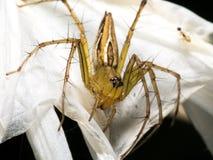在蜘蛛百合的醉蝶花属 库存照片