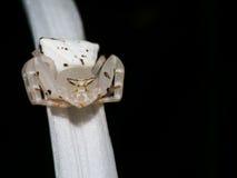 在蜘蛛百合的醉蝶花属 免版税库存照片
