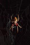 在蜘蛛网中间的可怕金黄天体织布工蜘蛛在bl上 图库摄影