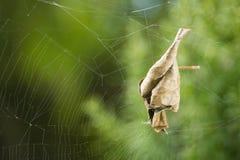 在蜘蛛网的卷曲的叶子 库存图片