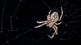 在蜘蛛网的大桥梁蜘蛛在夜月光 Larinioides sclopetarius, Araneidae 库存照片