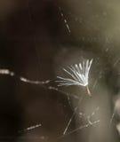 在蜘蛛网的蒲公英种子 免版税库存照片