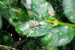 在蜘蛛网的蜘蛛在黄杨属叶子之间 免版税库存图片