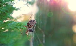 在蜘蛛网的蜘蛛 免版税库存图片
