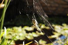 在蜘蛛网的蜘蛛 图库摄影