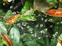 在蜘蛛网的雨下落在黄杨木潜叶虫叶子之间 库存图片