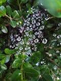 在蜘蛛网的雨珠 免版税库存图片
