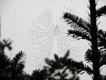 在蜘蛛网的露滴 库存图片