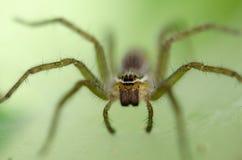 在蜘蛛网陷井巢的埋伏牺牲者 库存照片