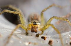 在蜘蛛网陷井巢的埋伏牺牲者 图库摄影