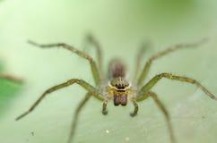 在蜘蛛网陷井巢的埋伏牺牲者 免版税库存照片