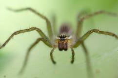 在蜘蛛网陷井巢的埋伏牺牲者 免版税图库摄影