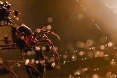 在蜘蛛网,宏指令的蜘蛛 免版税图库摄影