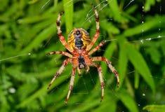在蜘蛛网15的庭院蜘蛛 图库摄影