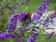 在蝴蝶灌木丛的Swallowtail 库存照片