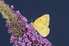 在蝴蝶灌木丛, Co紫色花的共同的白蝴蝶  免版税库存照片