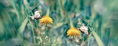 在蝴蝶-在蒲公英花的蝴蝶的选择聚焦在草甸 免版税库存照片