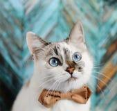 在蝶形领结的白色蓬松蓝眼睛的猫 在绿松石木质地背景的接近的画象 塑造查找 免版税库存图片