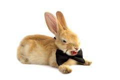 在蝶形领结哈欠的兔宝宝 免版税库存照片