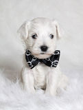 在蝶形领结的白色小狗 库存图片