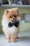 在蝶形领结的逗人喜爱的小狗Pomeranian 库存图片