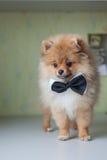 在蝶形领结的逗人喜爱的小狗Pomeranian 库存照片