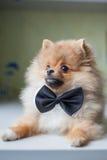 在蝶形领结的逗人喜爱的小狗Pomeranian 免版税图库摄影