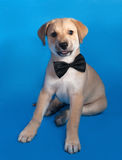 在蝶形领结的黄色小狗坐蓝色 免版税库存图片
