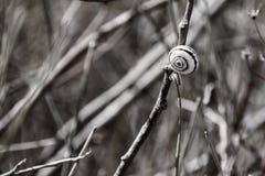 在螺旋壳的蜗牛坐一个干燥词根 免版税图库摄影