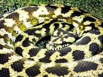 在螺旋滚动的黑和黄色蛇 库存图片
