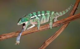 在蟋蟀的变色蜥蜴舌头 库存图片