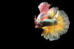 在行动的两条暹罗战斗的鱼,闭合有黑背景,双重ISO技术 红色betta f 免版税库存照片